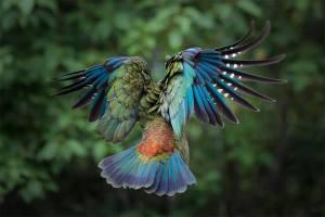 Kea bird in new zealand